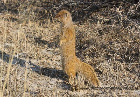 Yellow Mongoose (Cynisctis penicillata)