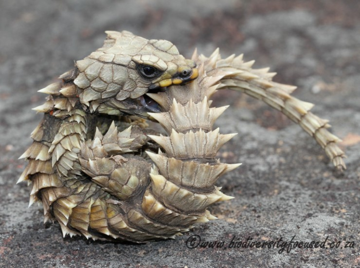 Armadillo Lizard (Ouroborus cataphractuss)