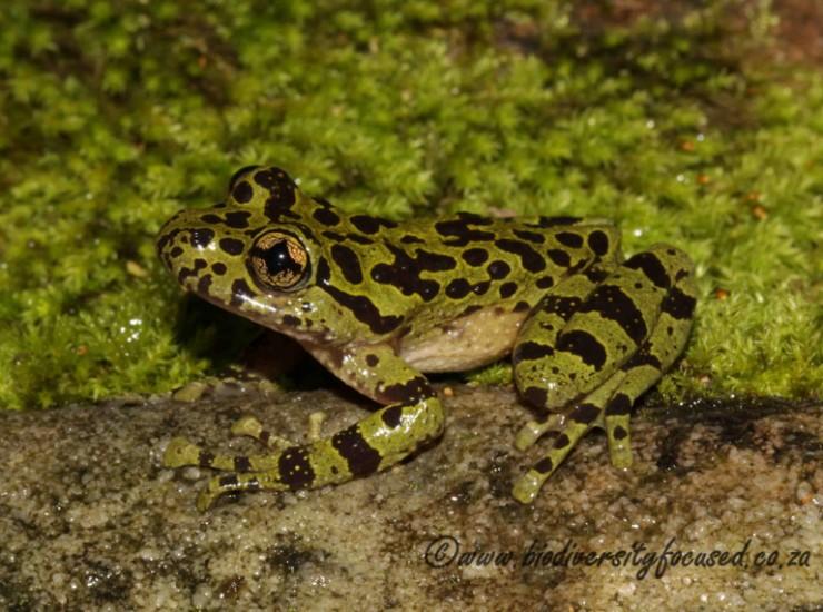 Cape Ghost Frog (Heleophryne purcelli)