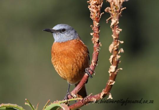 Cape Rock-thrush (Monticola rupestris)