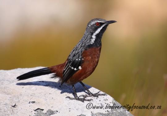 Cape Rockjumper (Chaetops frenatus)