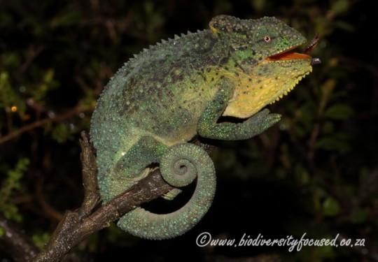 Emerald Dwarf Chameleon (Bradypodion cf. dracomontanum)