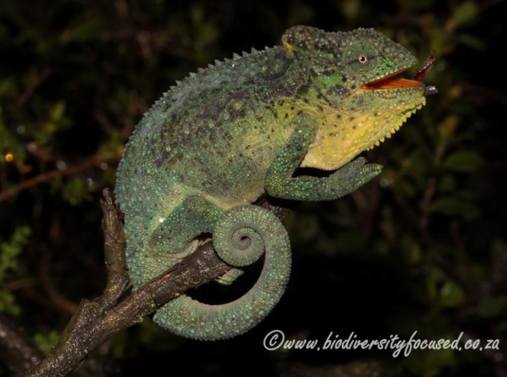 Emerald Dwarf Chaneleon (Bradypodion cf. dracomontanum)