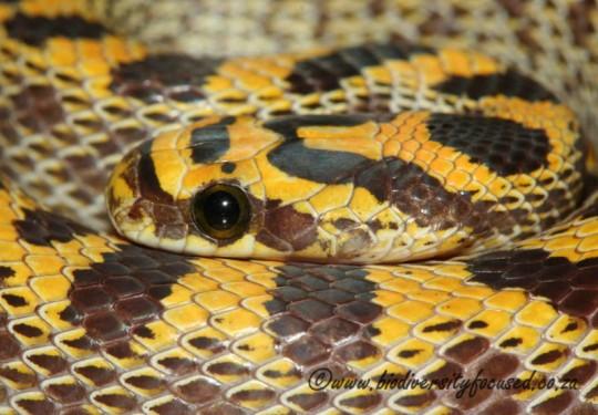 Fisks House Snake (Lamprophis fiskii)