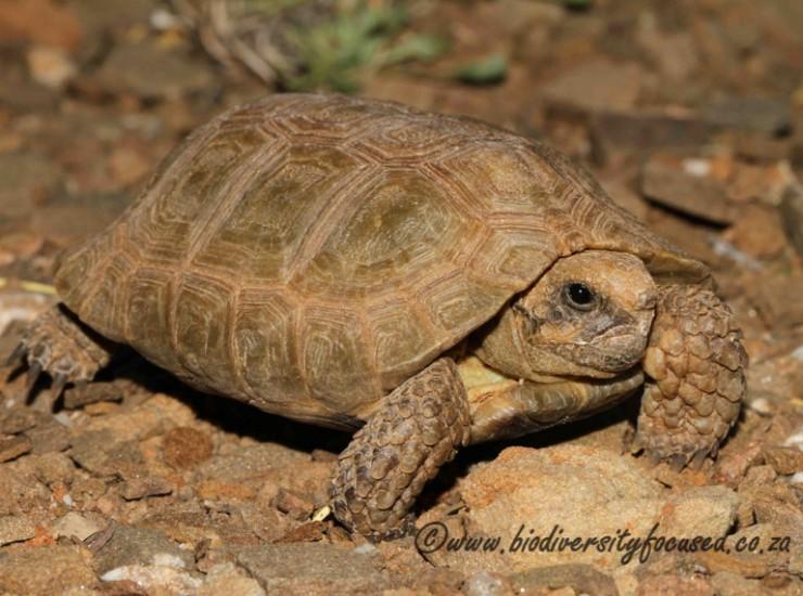 Karoo Dwarf Tortoise (Homopus boulengeri)