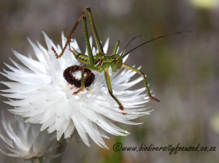 Katydid on Edmondia sesamoides