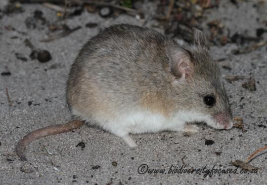 Krebs Fat Mouse (Steatomys krebsii)