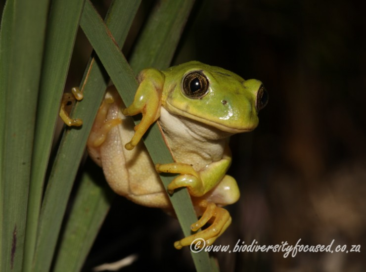 Long-toed Tree Frog (Leptopelis xeondactylus)