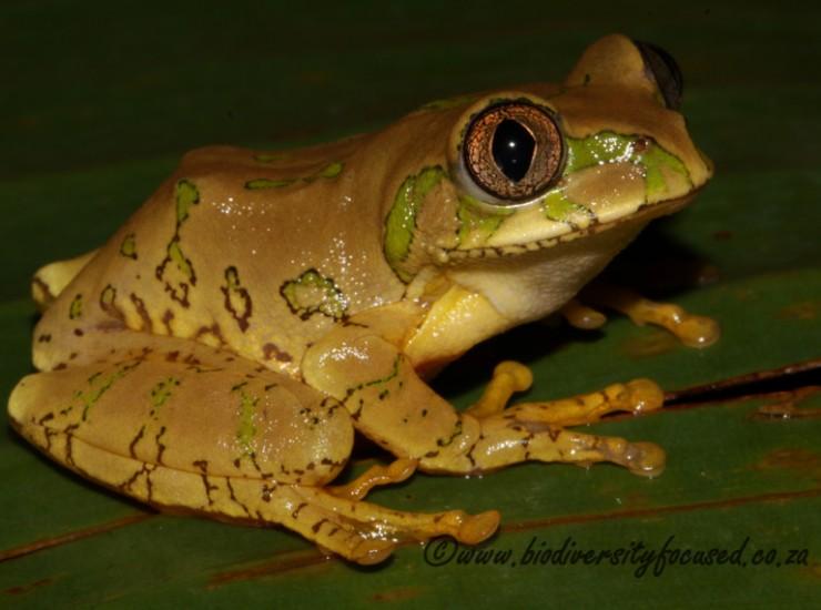 Natal Tree Frog (Leptopelis natalensis)