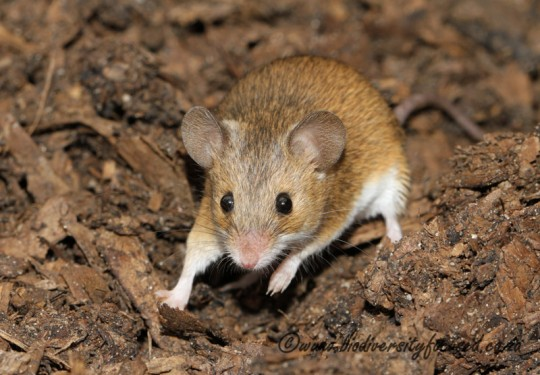 Pygmy Mouse (Mus minutoides)