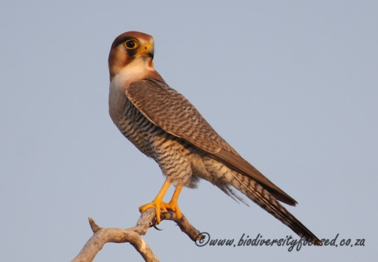 Red-necked Falcon (Falco chicquera)