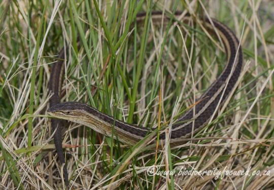 Cape Grass Lizard (Chamaesaura anguina anguina)