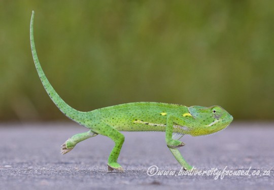 Common Flap-neck Chameleon (Chamaeleo dilepis dilepis)