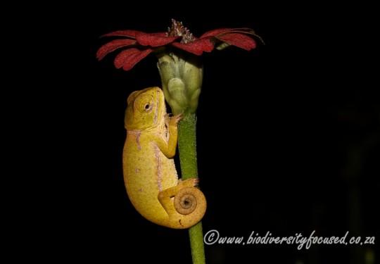 Common Flap-neck Chameleon (Chamaeleo dilepis dilepis)