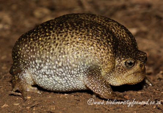 Plaintive Rain Frog (Breviceps verrucosus)