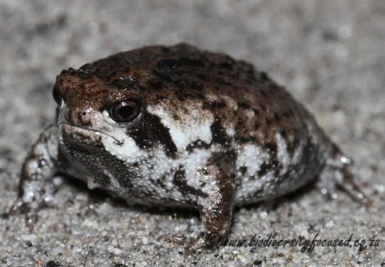 Sand Rain Frog (Breviceps rosei)