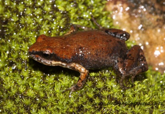 Southern Caco (Cacosternum australis)
