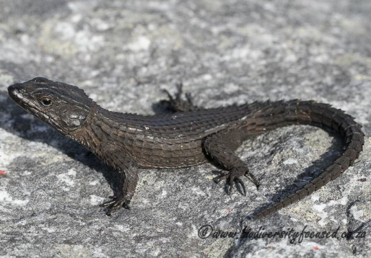Black Girdled Lizard (Cordylus niger)