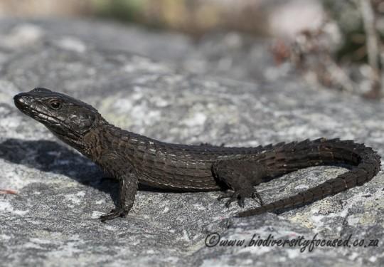 Black Girdled Lizard (Cordylus niger)