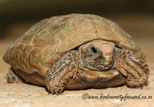 Boulengers Padloper (Homopus boulengeri)
