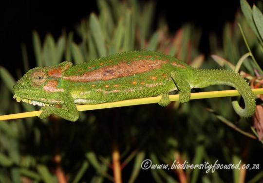 Cape Dwarf Chameleon (Bradypodion pumilum)