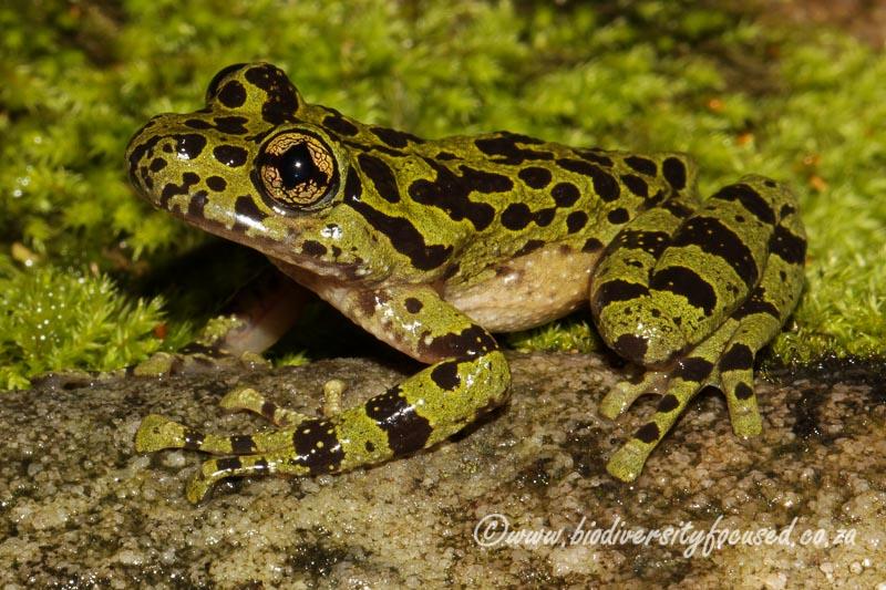 Biodiversity Focused 187 Ghost Frogs Heleophrynidae