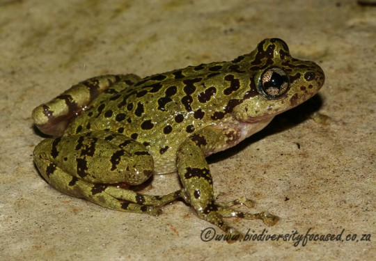 Cape Ghost Frog (Heleophryne purcelli)
