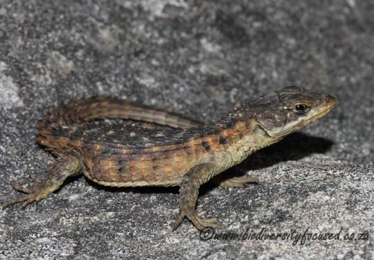 Cape Girdled Lizard (Cordylus cordylus)