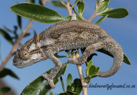 Eastern Cape Dwarf Chameleon (Bradypodion ventrale)