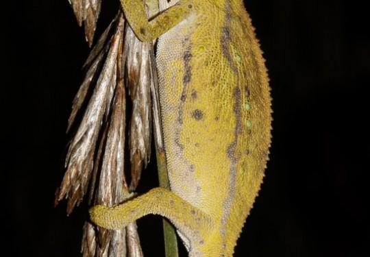 Elandsberg Dwarf Chameleon (Bradypodion taeniabronchum)