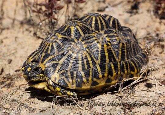 Geometric Tortoise (Psammobates geometricus)