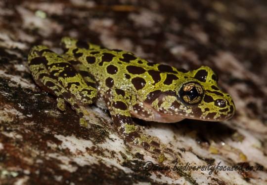 Hewitts Ghost Frog (Heleophryne hewitti)