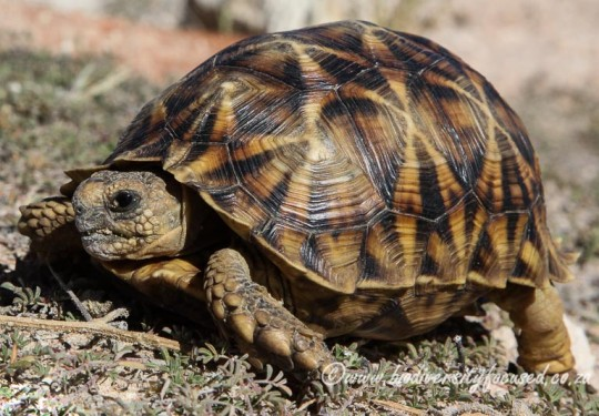Serrated Tent Tortoise (Psammobates oculifer)