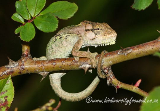 Knysna Dwarf Chameleon (Bradypodion damaranum)