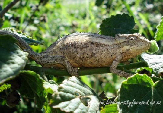 Kwazulu Dwarf Chameleon (Bradypodion melanocephalum)