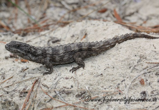 Large-scaled Girdled Lizard (Cordylus macropholis)