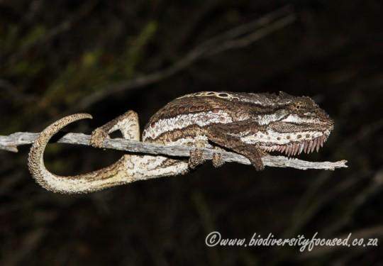 Little Karoo Dwarf Chameleon (Bradypodion gutturale)