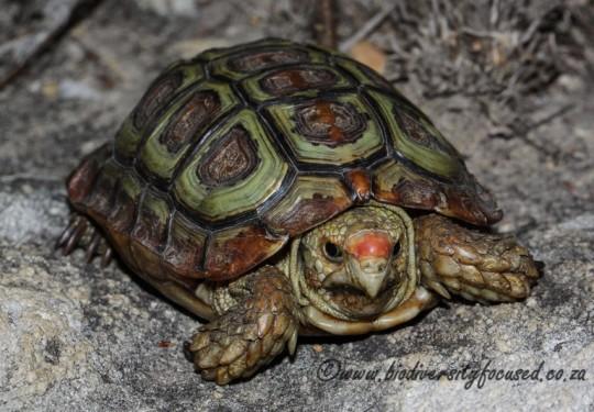 Parrot-beaked Tortoise (Homopus areolatus)
