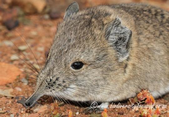 Round-eared Sengi (Macroscelides proboscideus)
