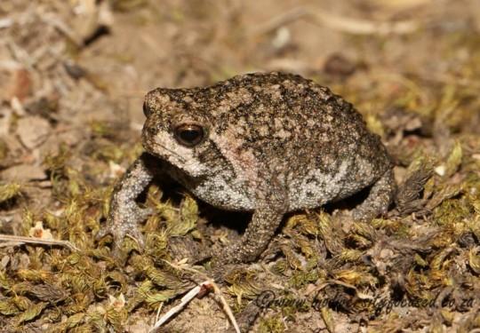 Sand Rain Frog (Breviceps rosei vansoni)