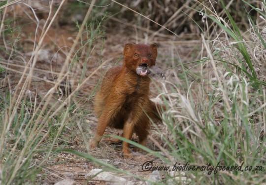 Slender Mongoose (Galerella sanguinea)