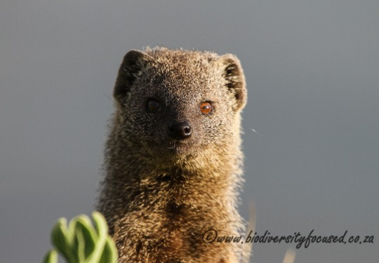 Small Grey Mongoose (Galerella pulverulenta)