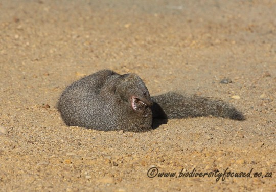 Small Grey Mongoose (Galerella pulverulenta) fight