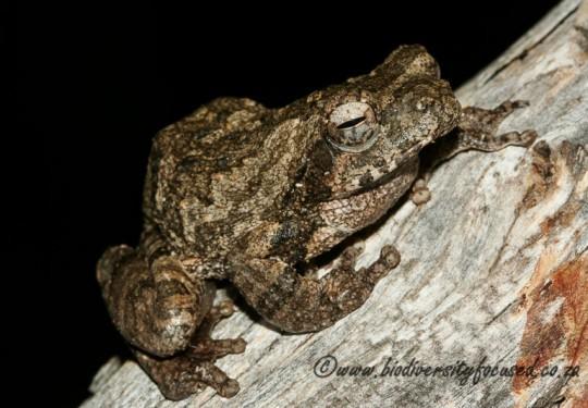 Southern Foam Nest Frog (Chiromantis xerampelina)