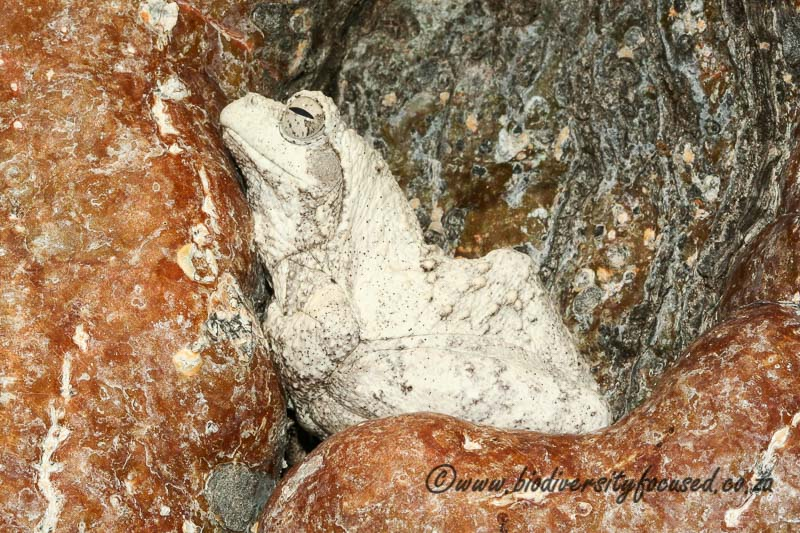 http://biodiversityfocused.co.za/wp-content/uploads/2015/03/Southern-Foam-Nest-Frog-Chiromantis-xerampelina-2.jpg