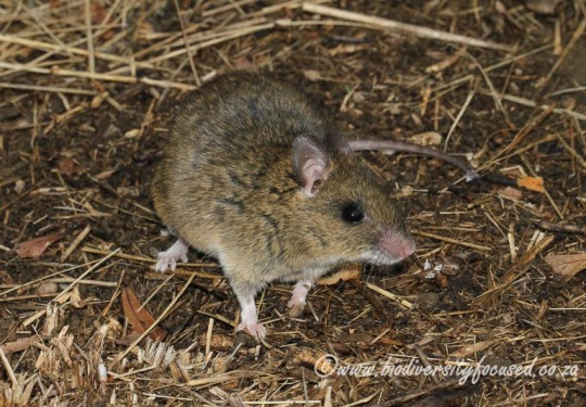 Southern Multimammate Mouse (Mastomys coucha)