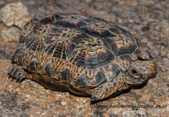 Speckled Padloper (Homopus signatus)