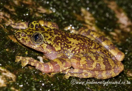 Table Mountain Ghost Frog (Heleophryne rosei)