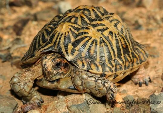 Tent Tortoise (Psammobates tentorius tentorius)