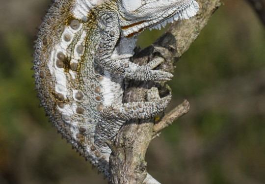 Western Dwarf Chameleon (Bradypodion occidentale)
